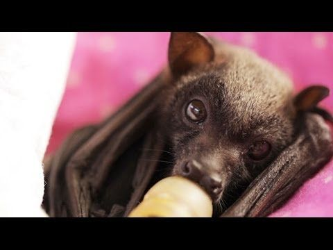 Ruby is a 3-week-old little red flying fox who was rescued from the roadside, after losing her mother from a car strike. Subscribe to WAKALEO: http://www.you...