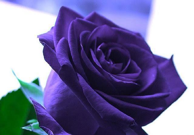 Single Purple Rose Google Search Beautiful Rose Flowers