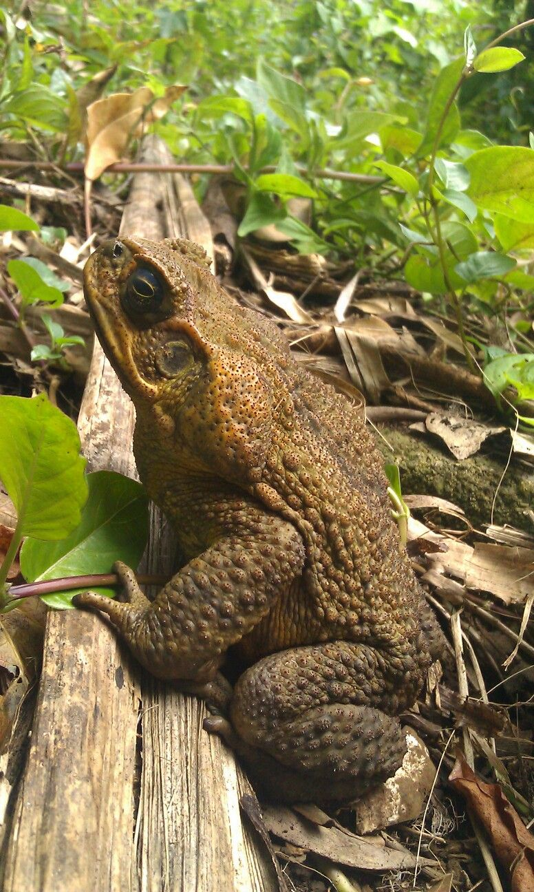 Hawaiian bullfrog @ roundtop estate. Photo by Corry M.