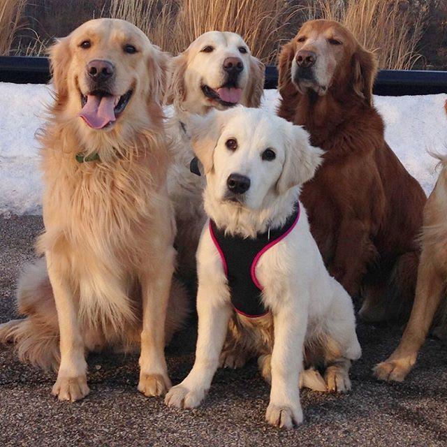 Instagram Media Goldens Of Chicago Happy National Dog Day