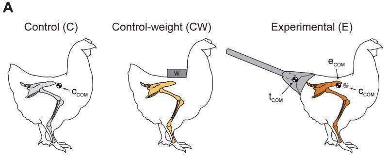 chicken tail dinosaur
