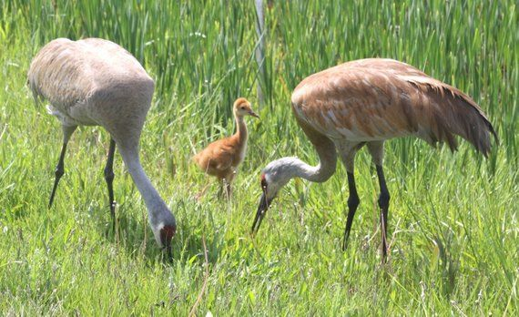 Sandhill Crane Family With Adopted Gosling Jocelyn >> Photo Taken In Crystal Lake Illinois Sandhill Cranes Birds