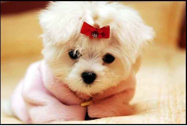 Maltese Puppy Cute Dog Wallpaper Cute Baby Animals Cute Animal