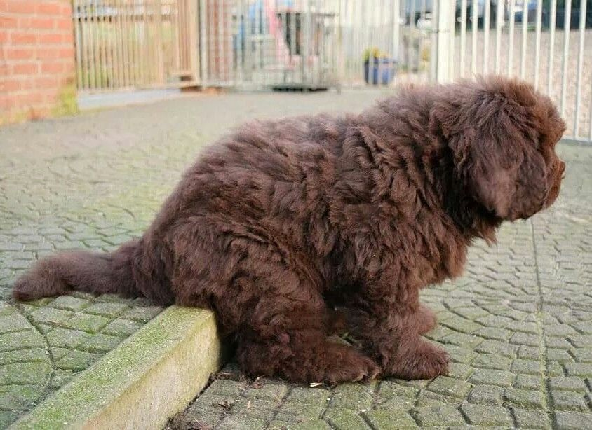 Pin by Jesse Pageant on Newfs Newfoundland puppies, Big