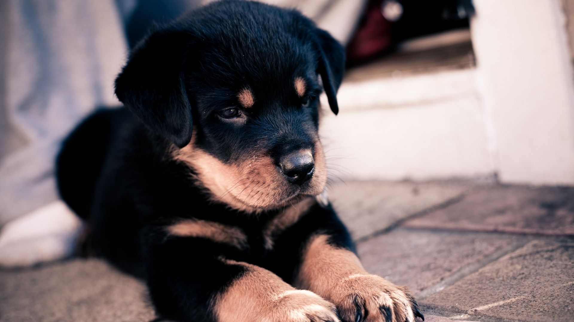 Dogs And Puppies Hd Wallpapers New Tab Theme Chrome New Tab Rottweiler Puppies Cute Baby Animals Rottweiler