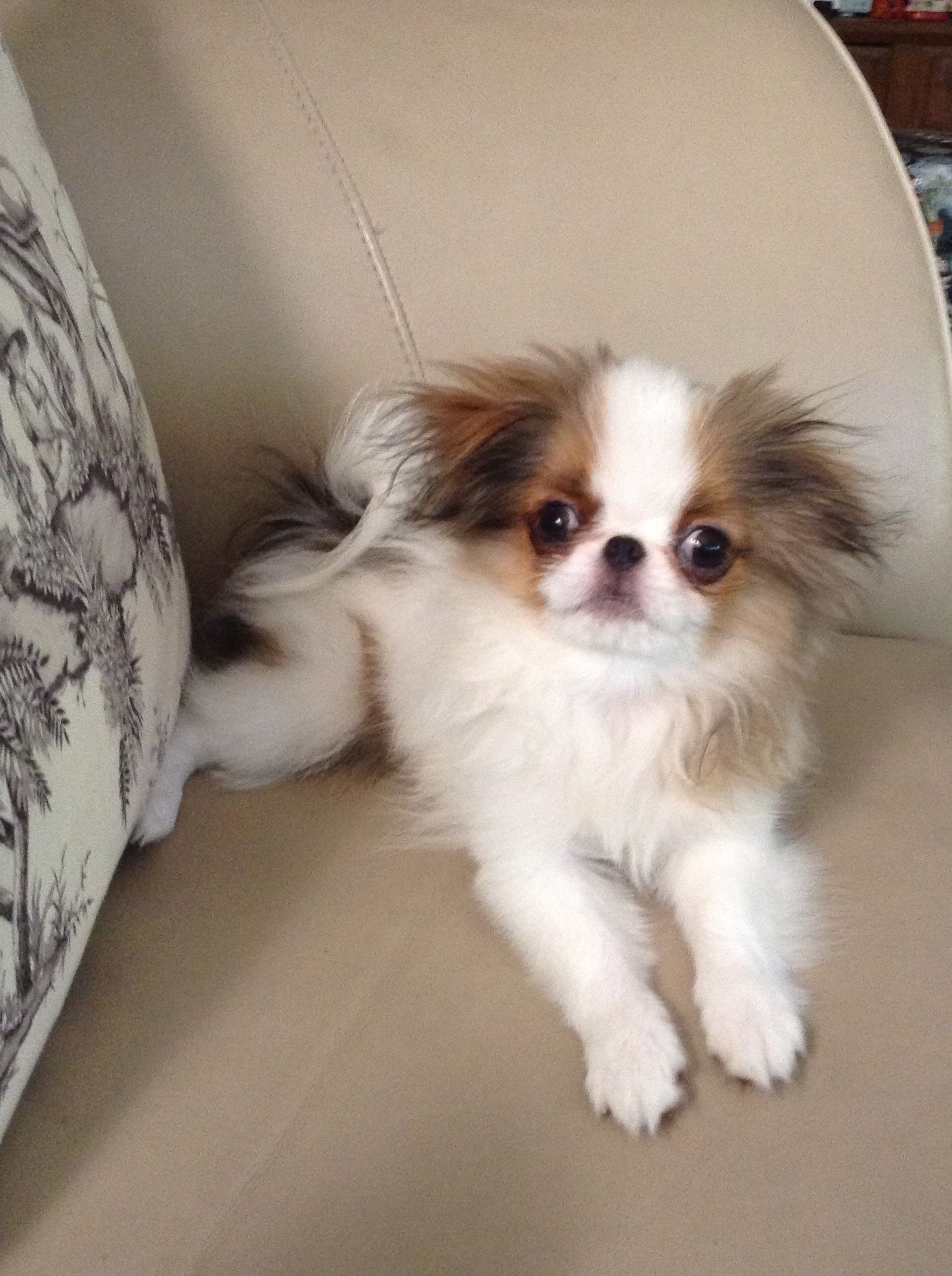 Pin by Alissa Greenberg on Favorite dogs Japanese chin