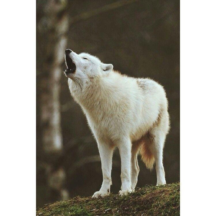 عواء الذئاب Arctic Wolf Wolf Animals Wild