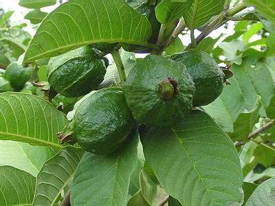 Unripe guava fruit when eaten can help to control diarrhea