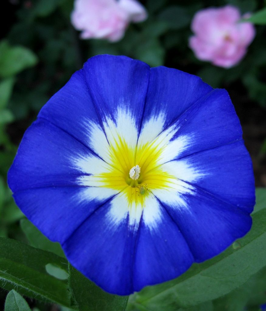Convolvulus And Friend Morning Glory Flowers Beautiful Flowers Flowers