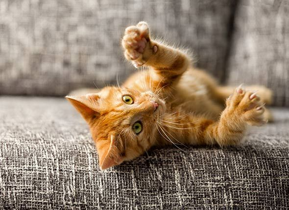 How To Socialize Kittens You Know How Cats Are Perceived As Aloof Independent And Sometimes Even Uncaring If You Kitten Care Cat Parenting Declawing Cats