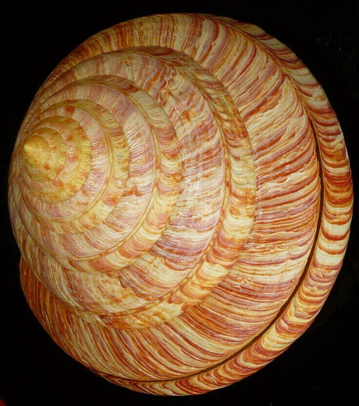 Pleurotomaria rumphii