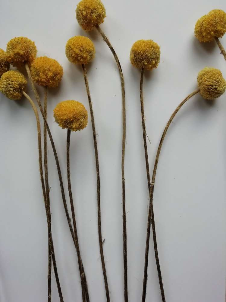Billy Buttons Bunch Seconds Dried Craspedia 10 Stems Billy Buttons Dried Flower Bouquet Dried Flowers