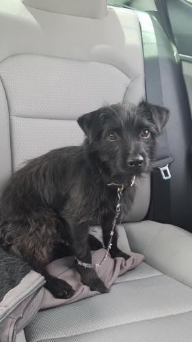 Lost Buddy All Black Terrier Mix Small Dog About 1 Year Old Normally Friendly But Might Be Very Afraid Since He Is So Losing A Pet Mix Small Dogs Terrier Mix