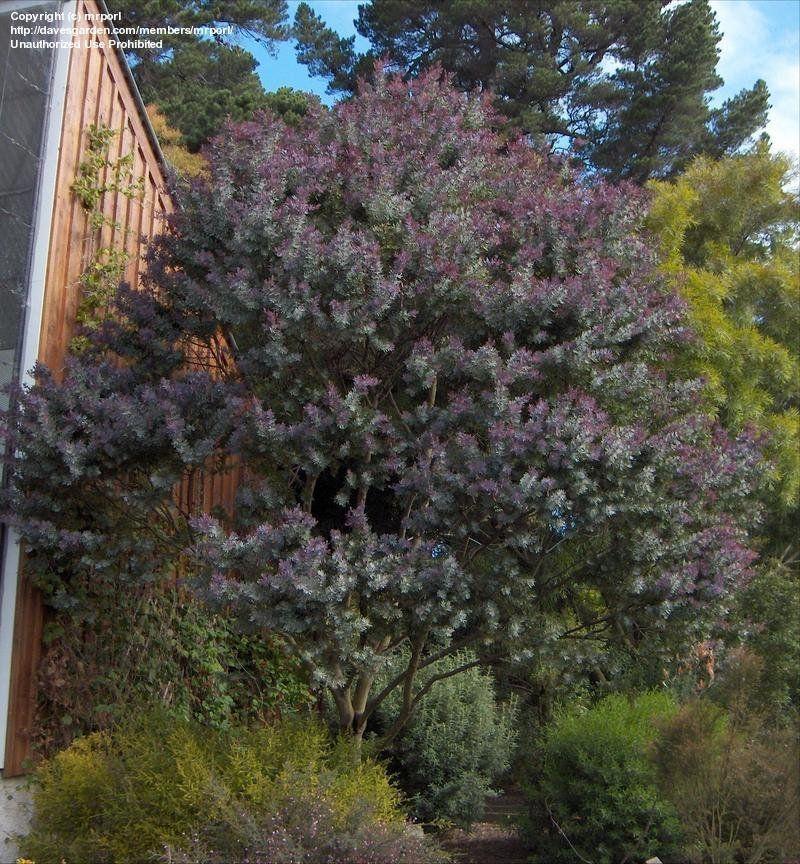 Dunedin Botanic Gardens New Zealand Purple Fern Leaf Acacia