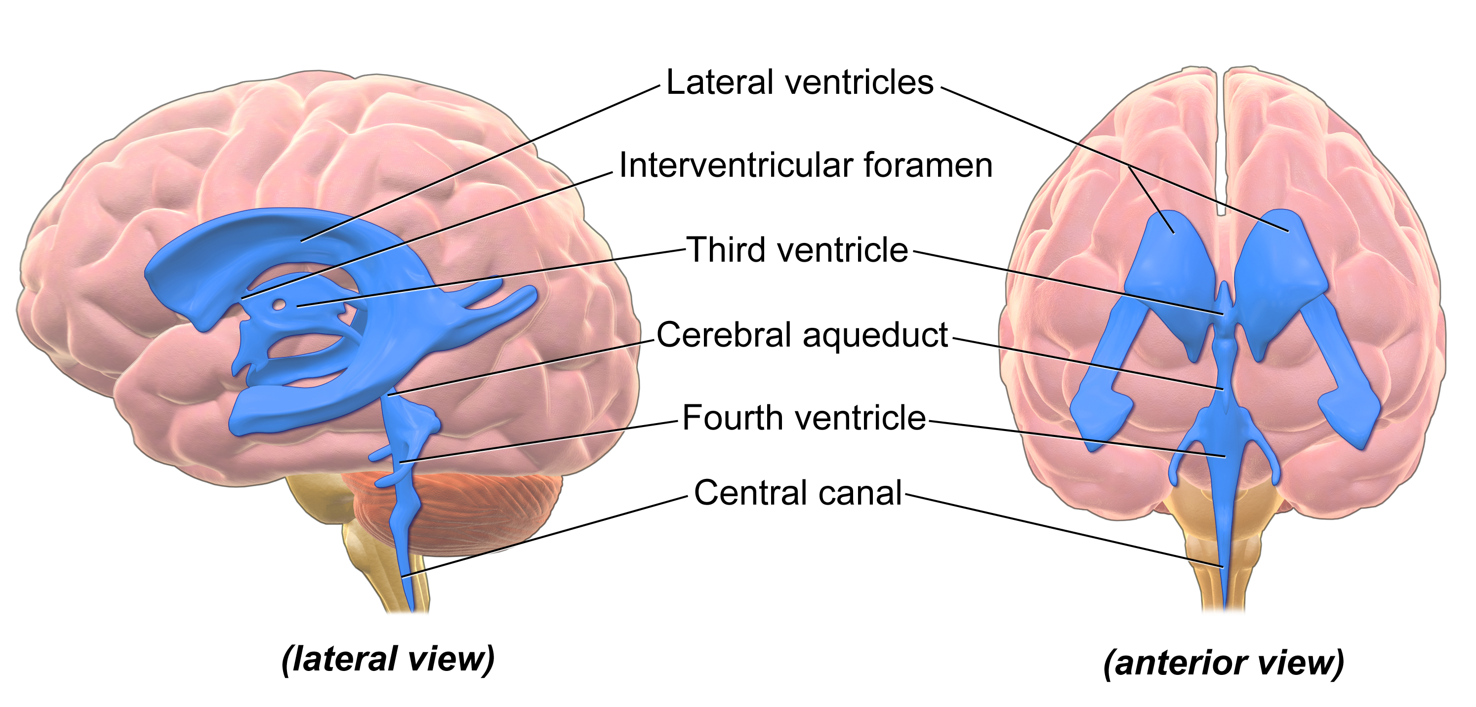Blausen_0896_Ventricles_Brain.png | Anatomy & Physiology Diagrams ...