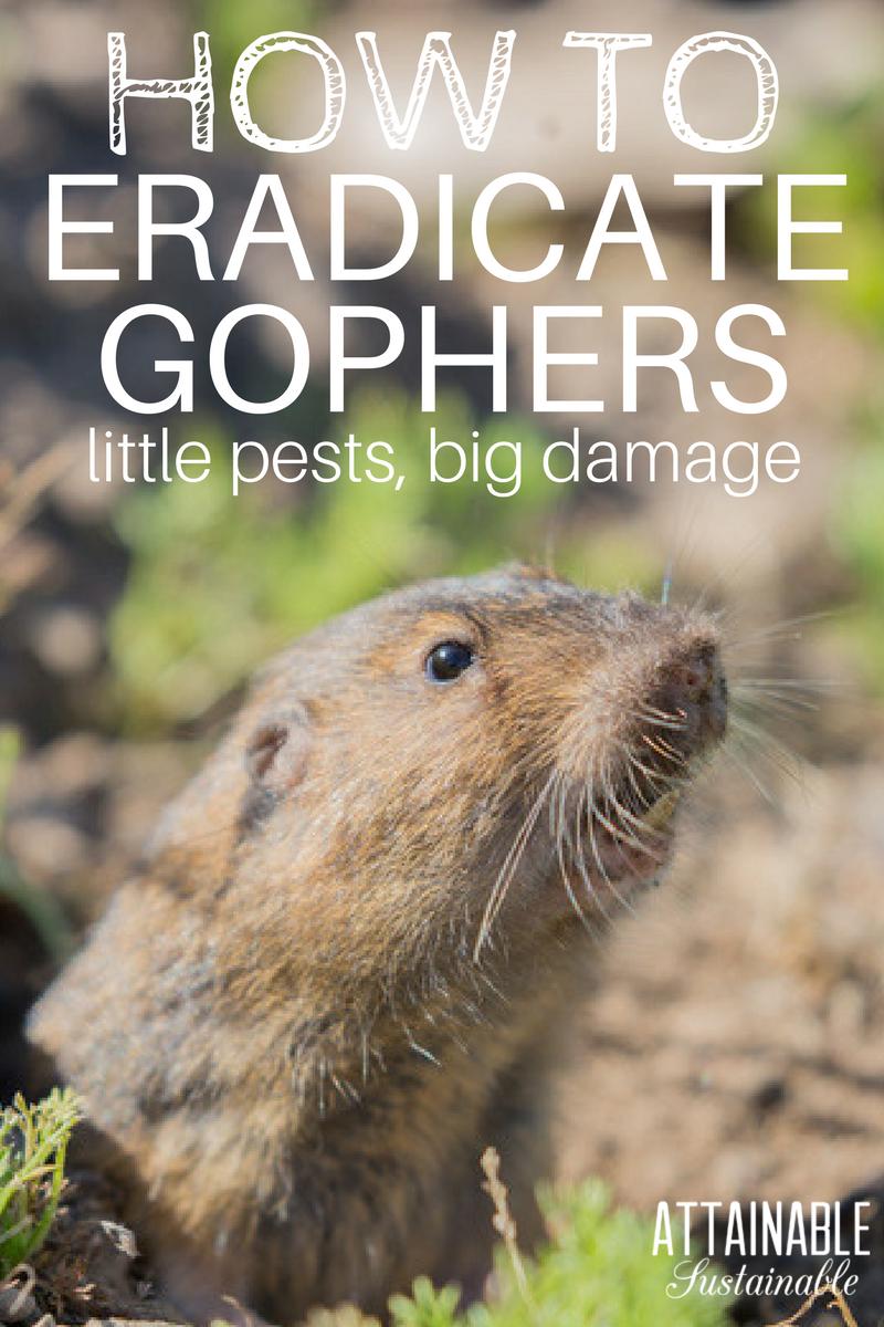 Pocket Gopher Control How To Eradicate