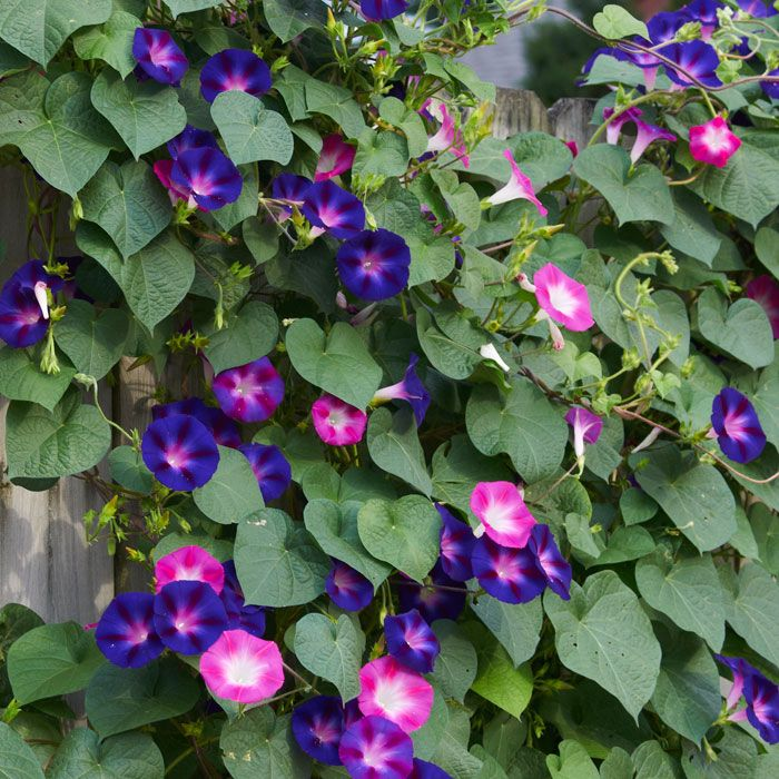 Pin By Teryl Dactyl On Memories Of M M Flower Fence Garden Vines Morning Glory Flowers