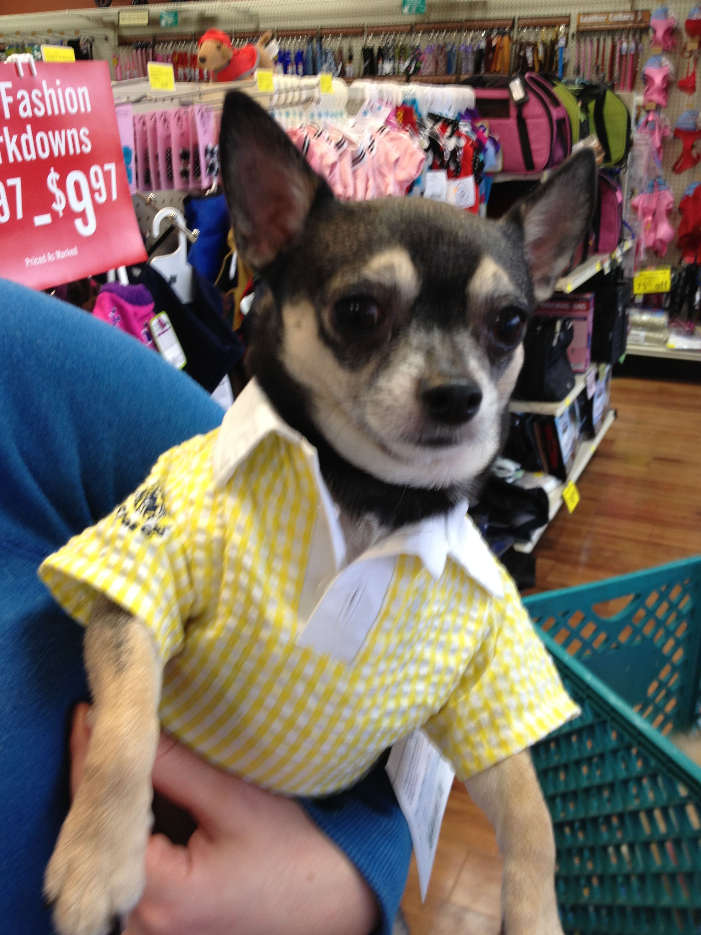 Chihuahua W Polo Shirt Chihuahua Dogs Polo Shirt