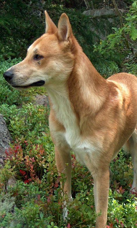 Carolina Dog Carolina Dog Canaan Dog Dog Breeds