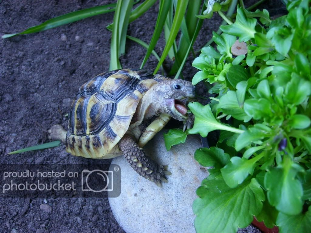 Esme & Hermans new home Indoor Enclosures Tortoise as