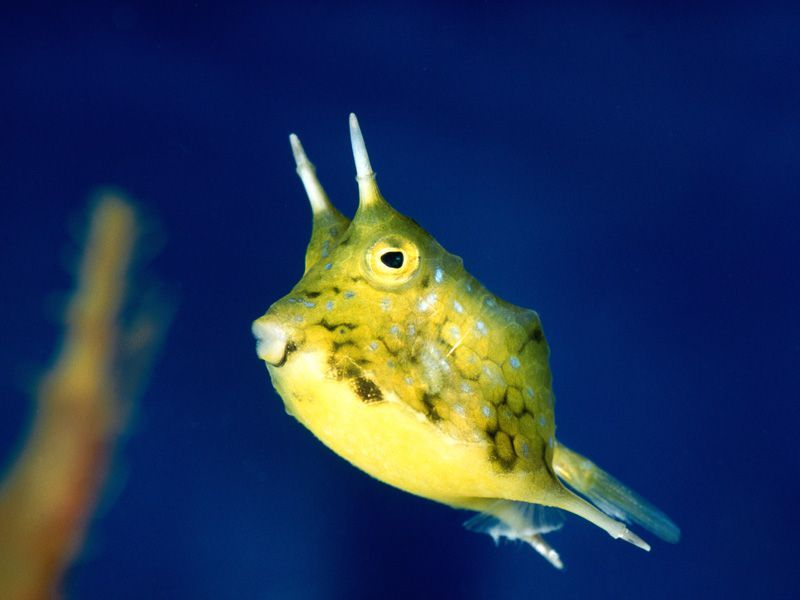Long Horned Cowfish Weird Looking Animals Image Of Fish Deep Sea Creatures
