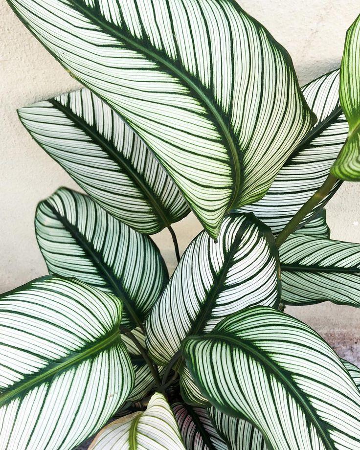 calathea . #Pflanzen #botanicgarden