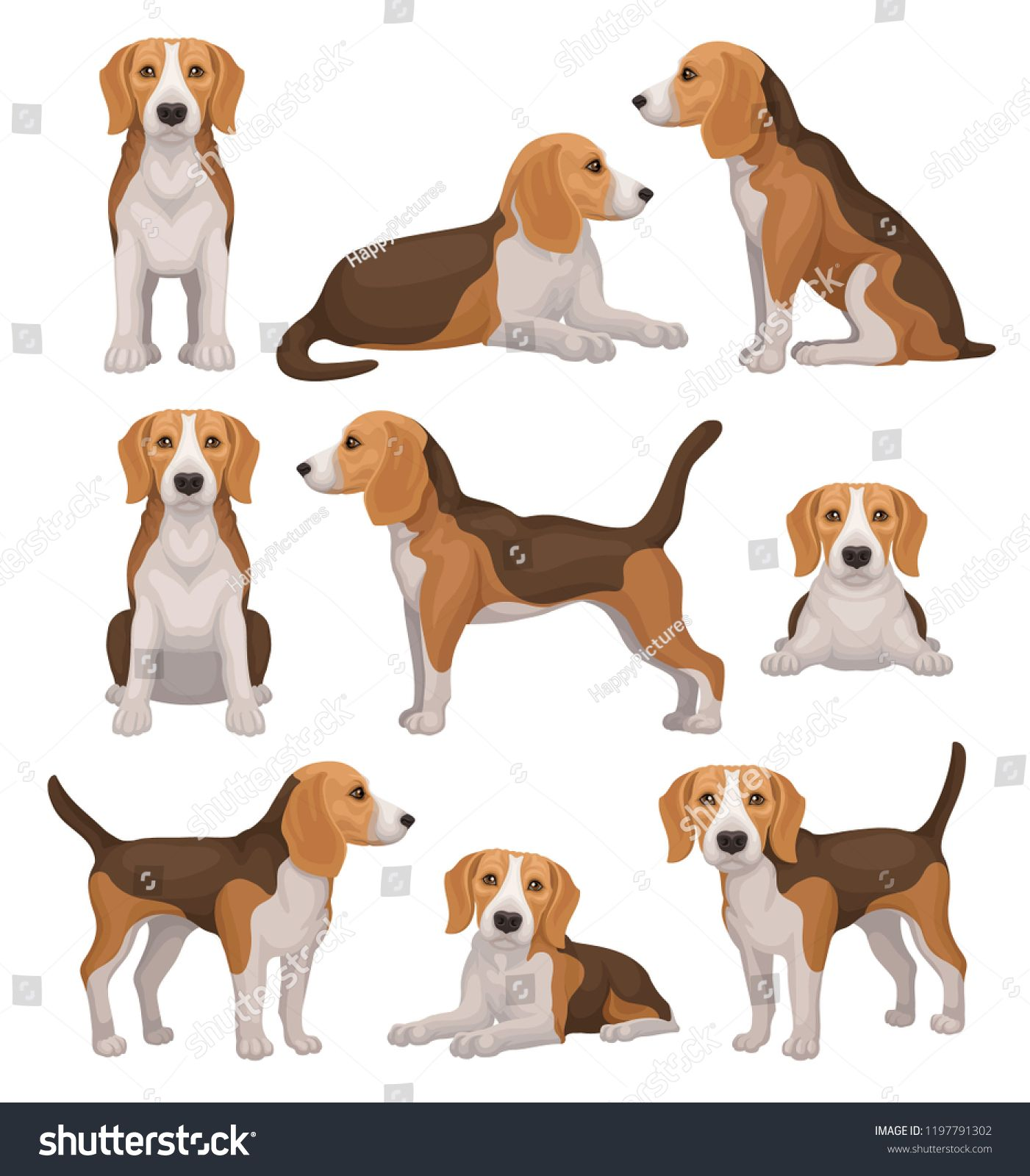 Flat Vector Set Of Beagle Dog In Different Poses Small Hunting