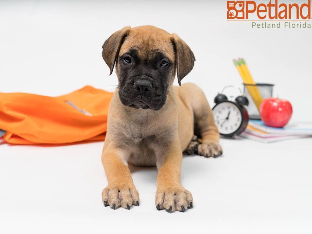 Puppies For Sale With Images Puppy Friends Puppies For Sale Bullmastiff Puppies For Sale