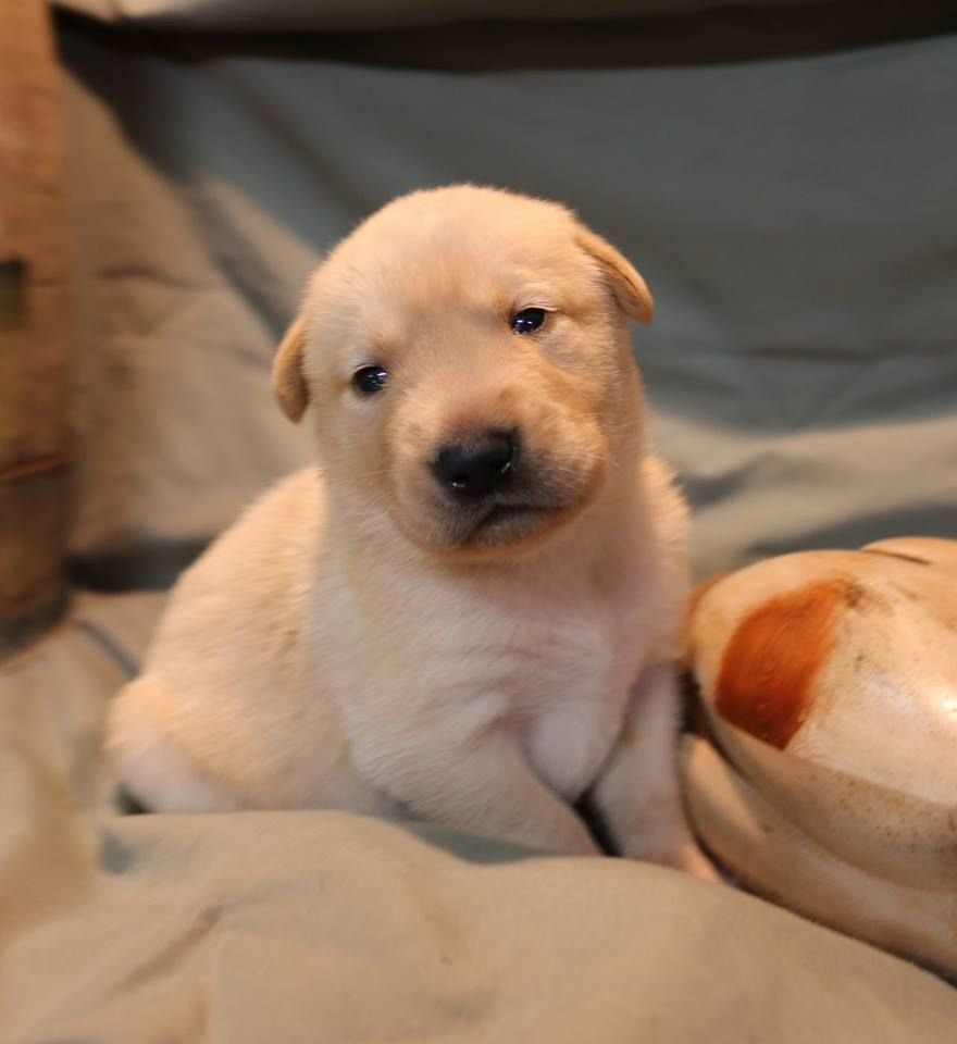 Pin By Ruffwood Labs Kennel On Puppies For Sale Labrador Puppies For Sale Puppies For Sale Labrador Puppy