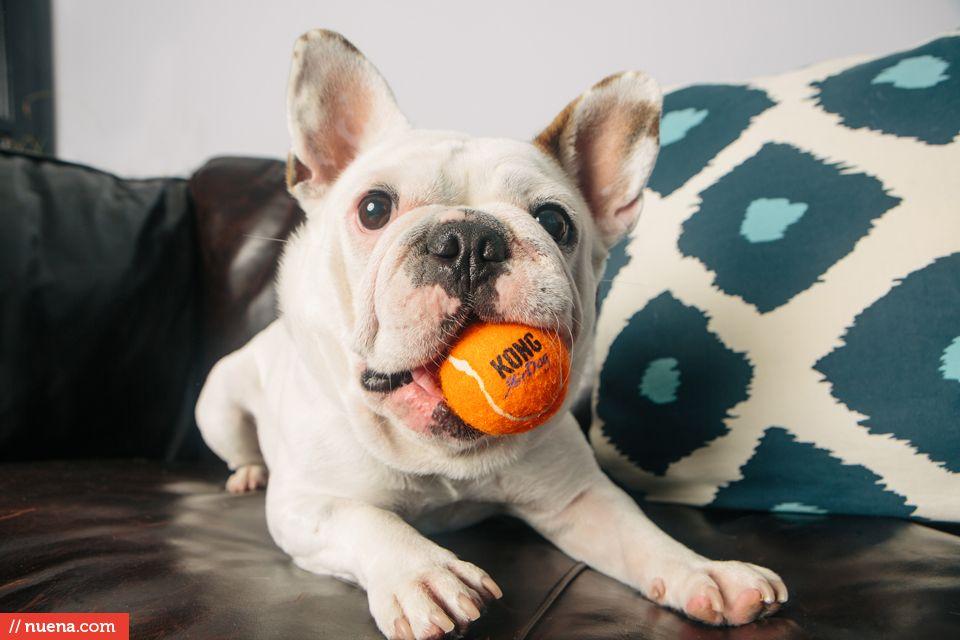 French Bulldog San Francisco By Kira Stackhouse Cute French