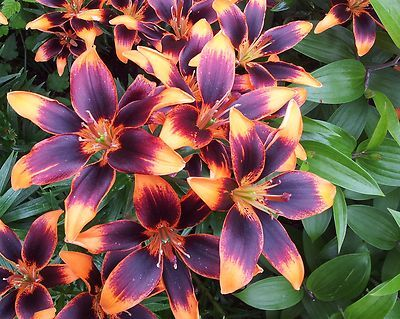 1 Starlette Asiatic Beautifull Lily Flower Bulb 14 16 Cm Bulb Flowers Flower Landscape Flowers