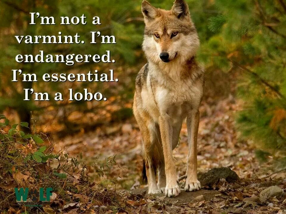 Pin by Gmj on Wolves   Whats your spirit animal, Your ...