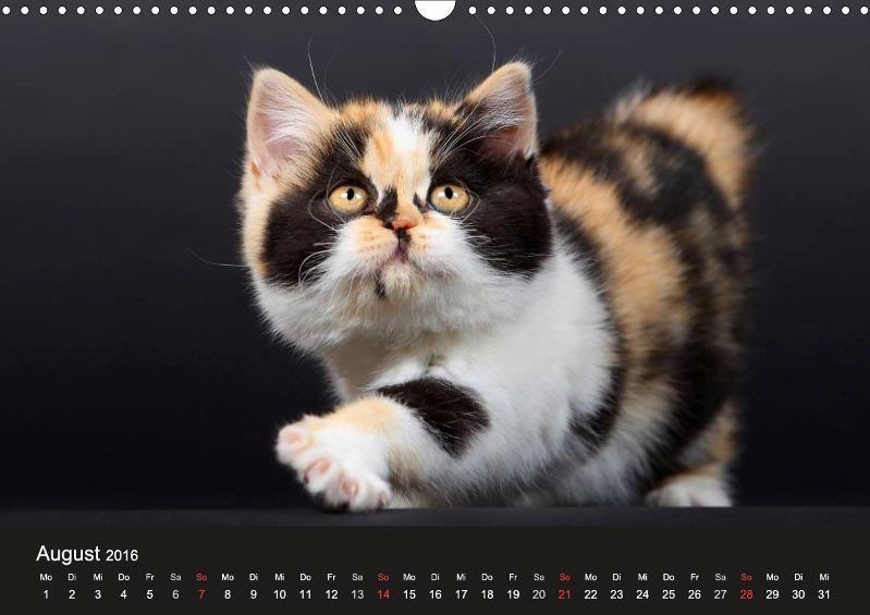 Britisch Kurzhaar 2016 - CALVENDO Kalender von Kathrin Jung - #katzen