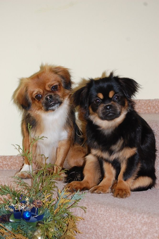 Romance Tibetan Spaniel Cz Tibetan Spaniel Cute Animals Pet Dogs