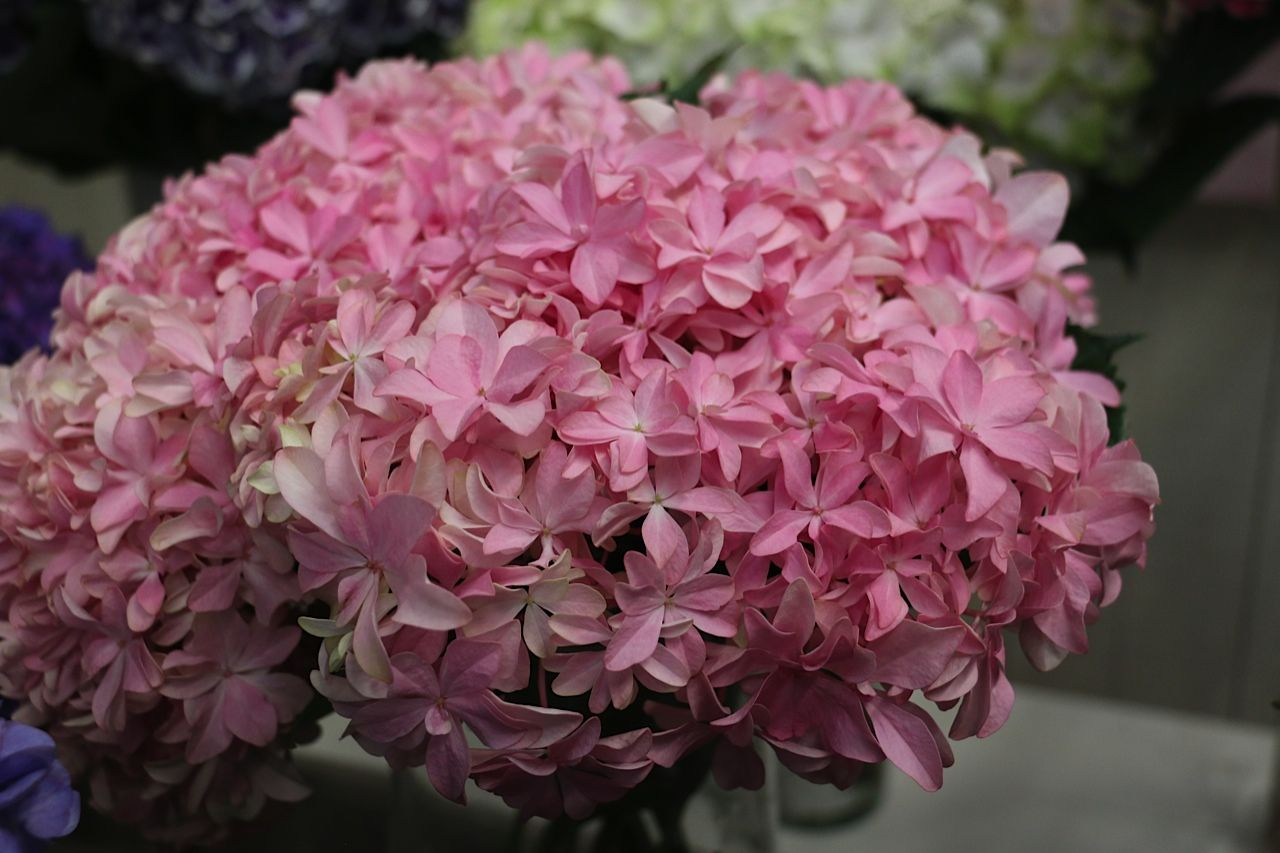hydrangea #hortensia #Inspire; Available at www.barendsen.nl ...