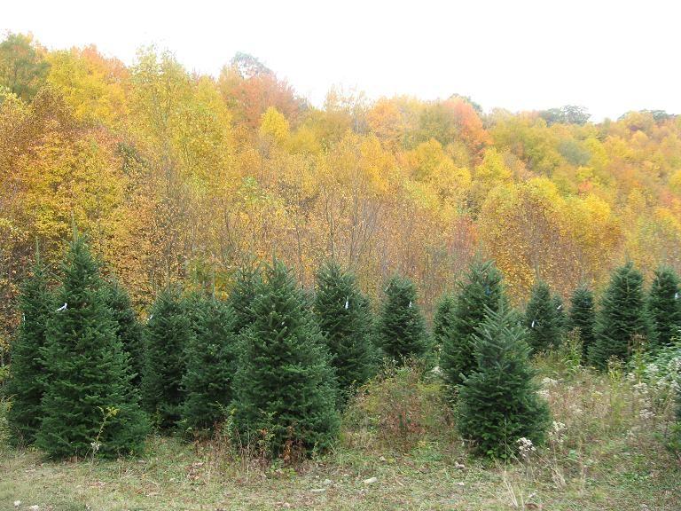 Christmas Tree Farm near White Top Mountain off the VA