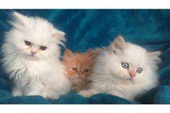 Perser Kitten Baby Katzen Katzen Solingen