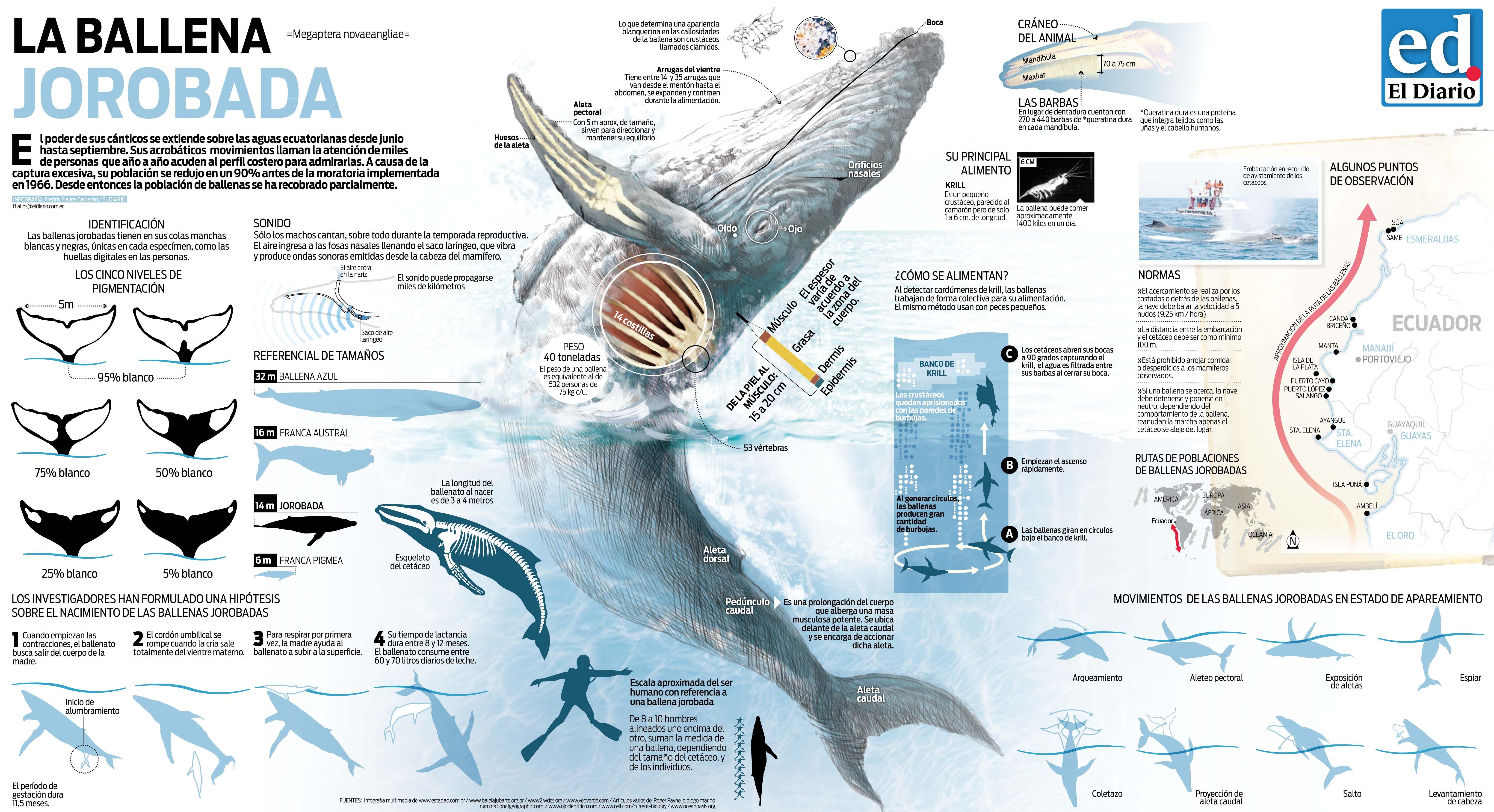 ballena jorobada - Buscar con Google   Animales   Pinterest ...
