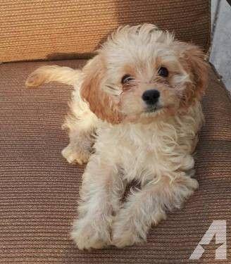 Adorable Cavapoo Puppies Akc Parents Champion Lines Cavapoo