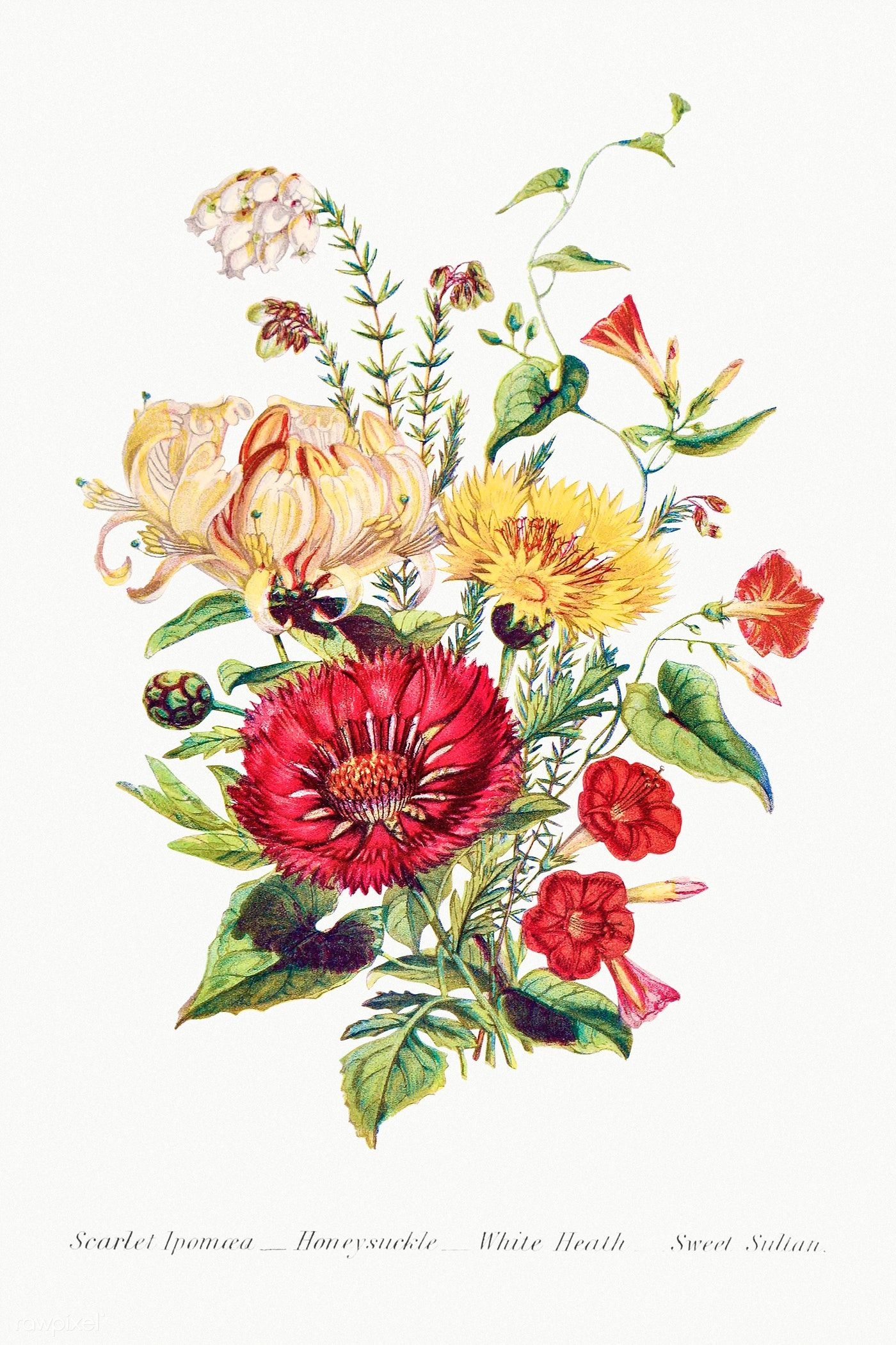 Scarlet Ipomoea Honeysuckle White Heath And Sweet Sulian From The Language Of Flowers Or Floral Emblems Of Thou In 2020 Flowers Bouquet Instant Art Vintage Flowers