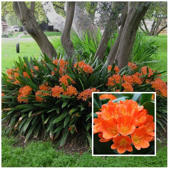 Fire Lily (Clivia Miniata) is a shade loving plant. #flowerbeds