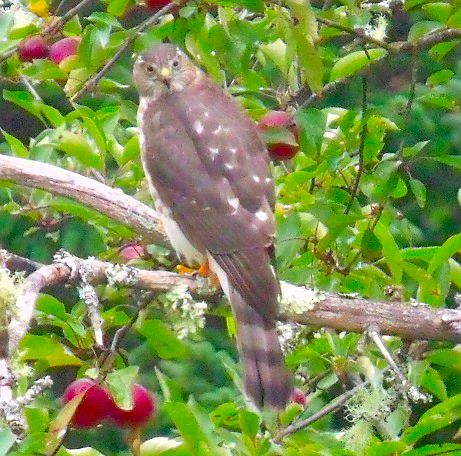 a Coopers Hawk