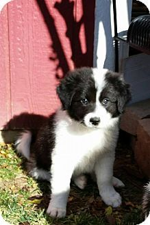 Allen Tx Border Collie Great Pyrenees Mix Meet Blitzen A Puppy For Adoption Http Www Adoptapet Com Pet 14722568 Border Collie Border Collie Mix Collie