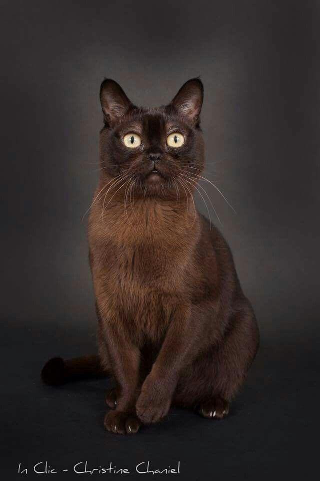 Burmese Burmese Cat Devon Rex Cats Cats And Kittens