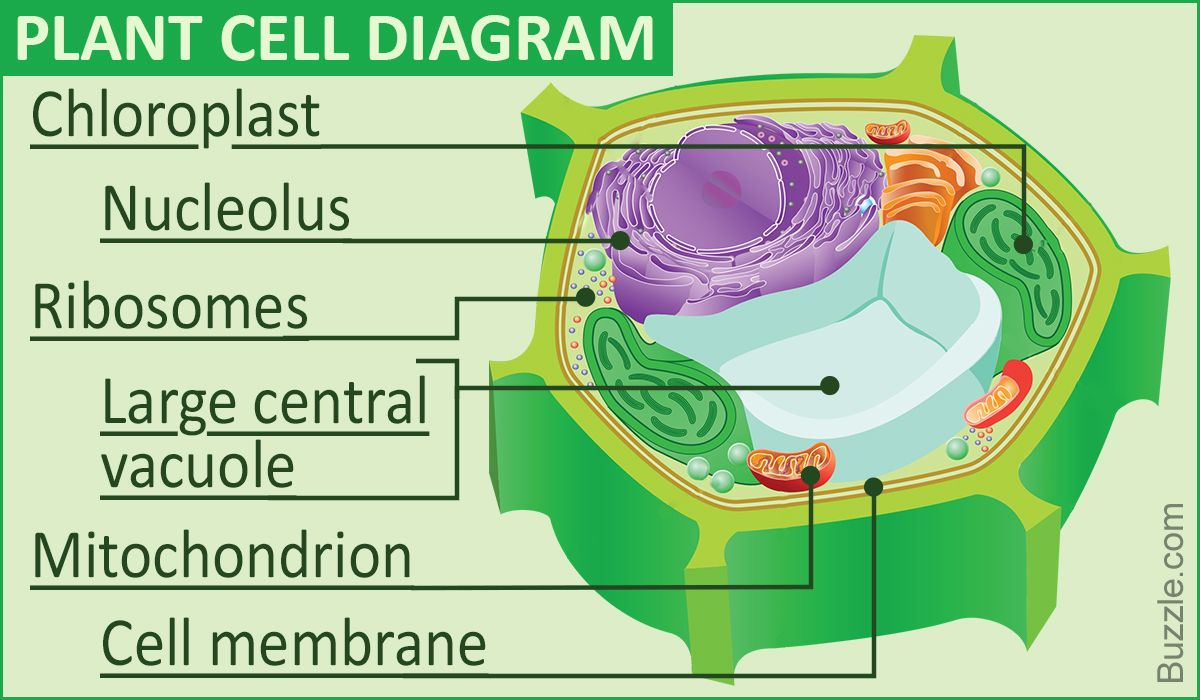 hight resolution of a labeled diagram of the plant cell and functions of its organelles