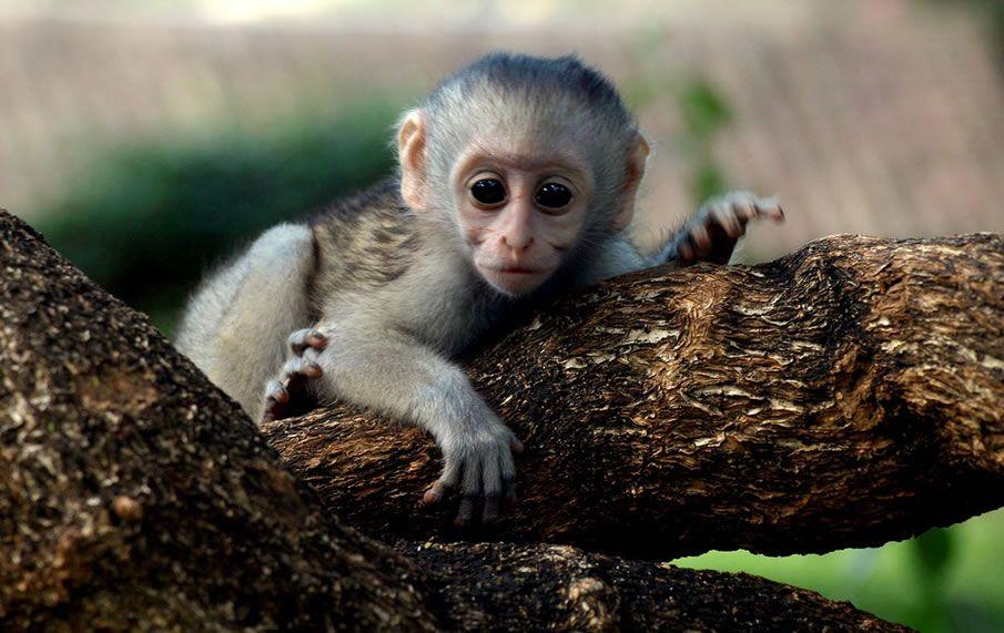 Image of: Orangutan Tropical Rainforest Animals In Africa Kenya Baby Monkey Pinterest Tropical Rainforest Animals In Africa Kenya Baby Monkey
