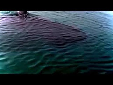 Megalodon Shark Caught on Tape - Giant Unidentified Shark - Does the Monster Still Live - HD 720 - YouTube