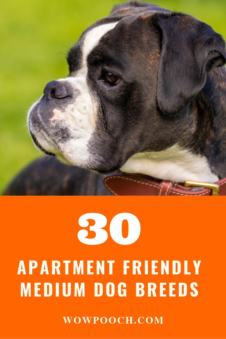 How Many Of You Want An Apartment Friendly Puppy Or Dog Maybe Almost Everyone Preference Of Medium Sized Dog Dog Breeds Medium Medium Dogs Dog Breeds