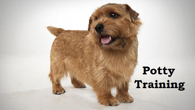 Norfolk Terrier Puppies How To Potty Train A Norfolk Terrier