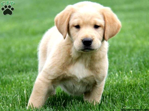 Golden Retriever And Lab Mix Puppies Photo - Happy Dog ...